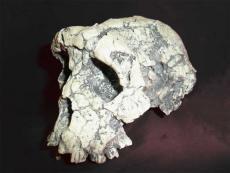 Sachelanthropus tchadensis (Tumai)